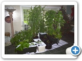 Plants in Earthboxes taken indoors during cold snap (EarthBox® )